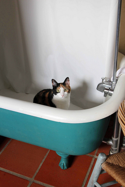 Bathtub cat